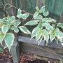 Stachyurus_magpie_foliage
