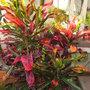 Codiaeum variegatum 'Mammy' - Mammy Croton (Codiaeum variegatum 'Mammy' - Mammy Croton)