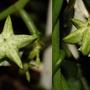 Ceropegia Sandersonii (Ceropegia sandersonii)