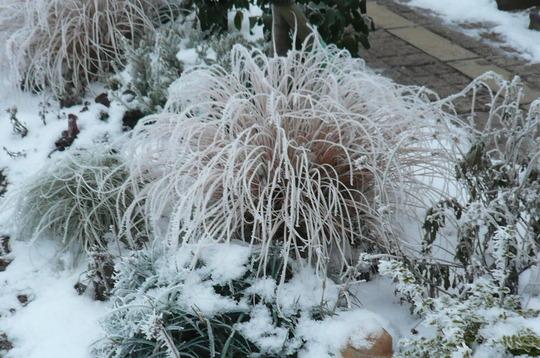 ornamental grass frosty and pretty