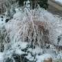 ornamental grass frosty and pretty