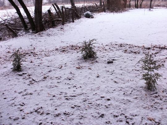 Canadian Hemlock (Tsuga canadensis (Canadian Hemlock))