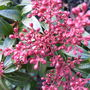 Pieris_japonica_bonfire_2010