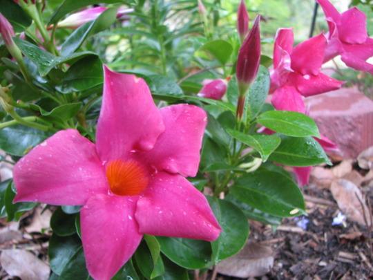 Early Summer in NE Downunder - Mandevilla flowering (Mandevilla)