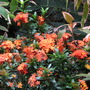 Early Summer in NE Downunder - Ixora 'Twilight Glow' in bloom
