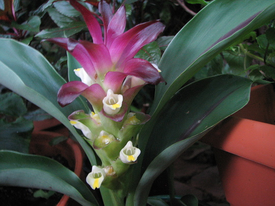 Early Summer in NE Downunder - Curcuma hybrid 'Voodoo Magic' flowering (Curcuma)