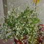 Euphorbia 'Diamond Frost'  (Euphorbia 'Diamond Frost')