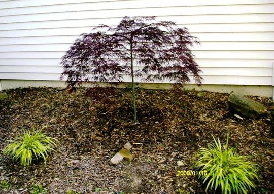 Acer palmatum 'Inaba Shidare'