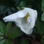 Helleborus_niger