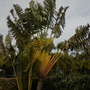 Ravenala madagascariensis - Traveller's Palm, Mission Bay, San Diego, CA. (Ravenala madagascariensis - Traveller's Palm)