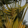 Ravenala madagascariensis - Traveller's Palm Flower Bracts (Ravenala madagascariensis - Traveller's Palm)