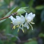 Lonicera purpusii 'Winter Beauty' (Lonicera purpusii (Shrubby honeysuckle))