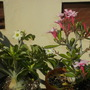 My Adeniums are blooming in the very hot temps today (Adenium obesum (Desert Rose))