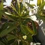 Plumeria obtusa 'Singapore'  - Singapore Plumeria Flowering (Plumeria obtusa 'Singapore'  - Singapore Plumeria)