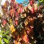 Acalypha wilkinsiana 'Jungle Dragon' - Jungle Dragon Copper Plant (Acalypha wilkinsiana 'Jungle Dragon')