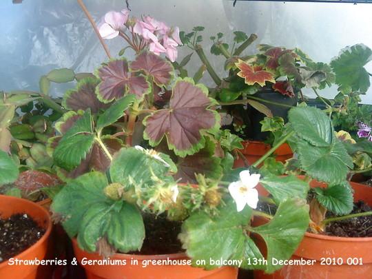 Strawberries & Geraniums in greenhouse on balcony 2010-12-13 001 (Fragaria x ananassa (Garden strawberry))