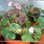 Strawberries &amp; Geraniums in greenhouse on balcony 2010-12-13 001 (Fragaria x ananassa (Garden strawberry))