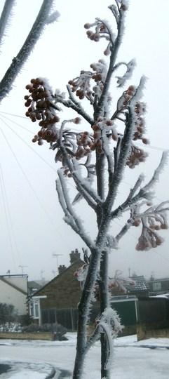 021 (Sorbus aucuparia (Mountain ash))