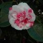 Camellia japonica - Camellia Flower