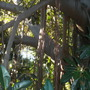 Ficus macrophylla - Australian Banyan Tree Aerial Roots (Ficus macrophylla - Australian Banyan Tree)