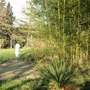 2 Cordylines by the bamboo  (Cordyline Australis)
