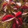 Autumn Fragaria