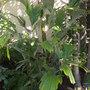 Arenga hookeriana - Hooker's Sugar Palm (Arenga hookeriana - Hooker's Sugar Palm)