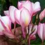 Plumeria 'Daisy Wilcox' (Plumeria)