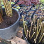 Rose and Fig cuttings