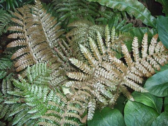 Dryopteris erythrosora (Dryopteris erythrosora)