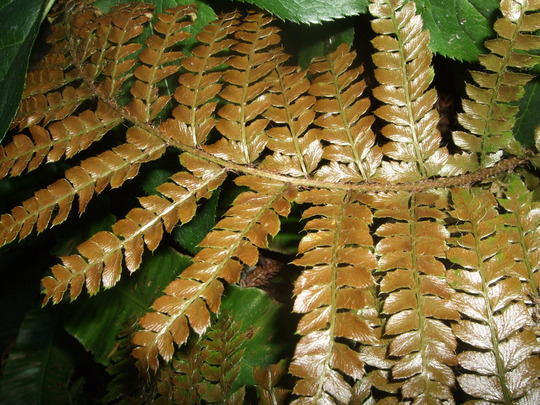 Golden fern (Dryopteris erythrosora)