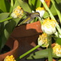 Haemanthus albiflos  - Royal Paint Brush with a Hummingbird (Haemanthus albiflos  - Royal Paint Brush)