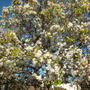 Pyrus kawakamii - Evergreen Pear in bloom (Pyrus kawakamii - Evergreen Pear)