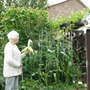 first sweetcorn grown 7