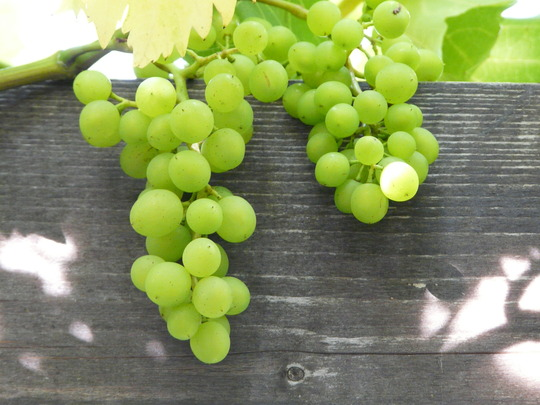 grapes 1 8.9.10