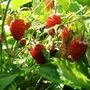 Garden strawberries (garden strawberries)