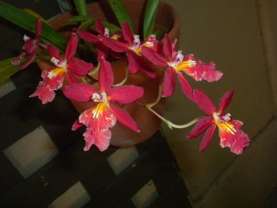 Oncidium hybrid  (Oncidium hybrid)