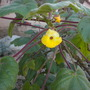 Uncarina decaryi - Mouse Trap Tree (Uncarina decaryi - Mouse Trap Tree)