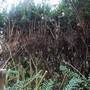 Topping Yew Hedge  (Taxus Baccata)