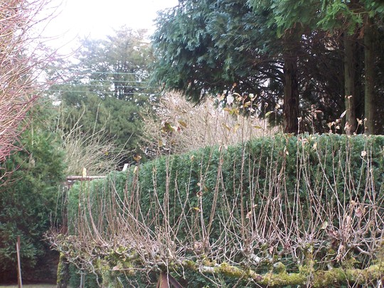 Reduced Yews plus conifers lifted