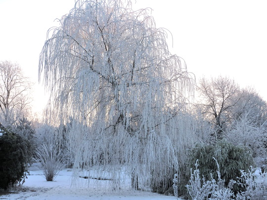 Frost Laden Weeping Willow