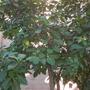 Pisonia umbellifera  - Bird Lime Tree (Pisonia umbellifera  - Bird Lime Tree)