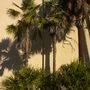 Very Old Coccotrinax argentea - Hispaniola Silver Thatch Palms, Livistona decora - Ribbon Palms Below (Coccotrinax argentea - Hispaniola Silver Thatch Palm, Livistona decora - Ribbon Palm)