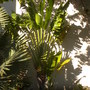 Ravenala madagascariensis - Traveller's Palm (Ravenala madagascariensis - Traveller's Palm)