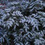 Frost on the Mahonia