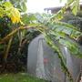 My White Iholena Banana falling over from storms (White Iholena Banana)
