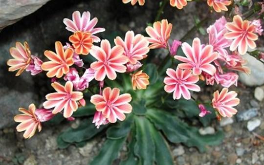 lewisia cotyledon (Lewisia cotyledon (read more here))