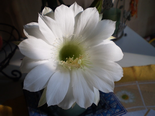 A WHITE FLOWER FOR A WHITE CHRISTMAS TO EVERYONE.