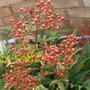 Lovely winter berries on Heavenly Bamboo (Nandina Domestica)