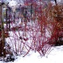 Red stemmed Dogwood in snow (Cornus Sibirica)
